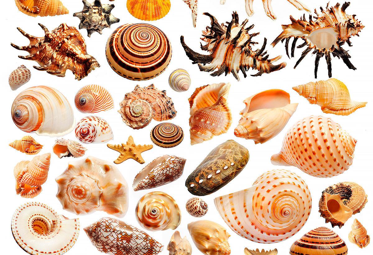 Морская раковина - сувенир, Бруней