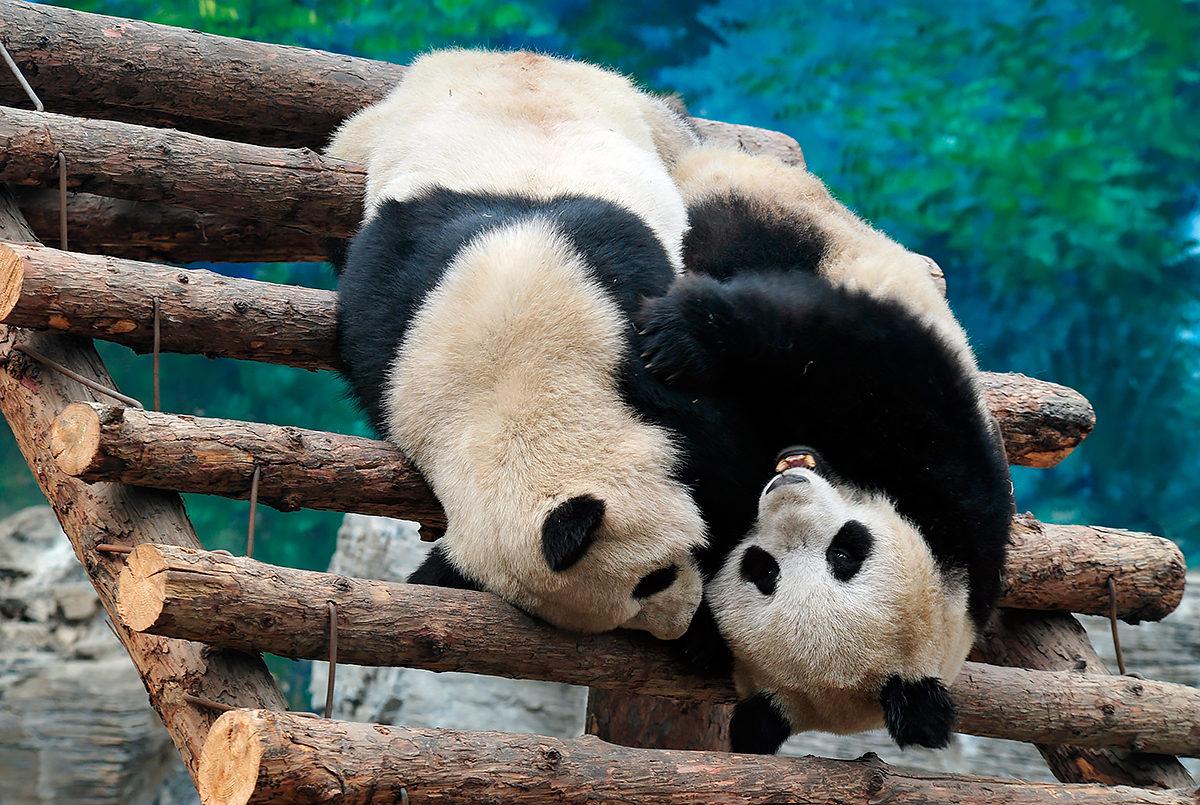 Большая панда в Пекинском зоопарке