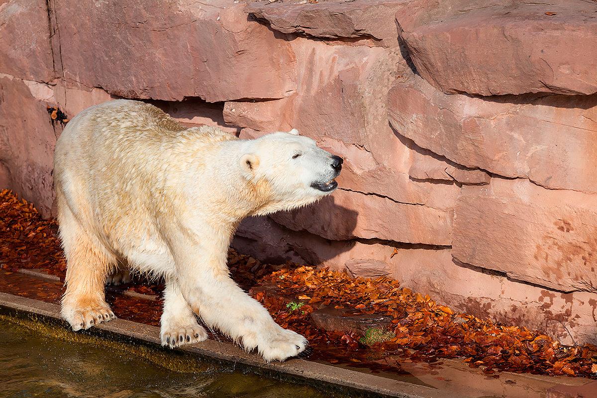 Полярный медведь в зоопарке Нюрнберга