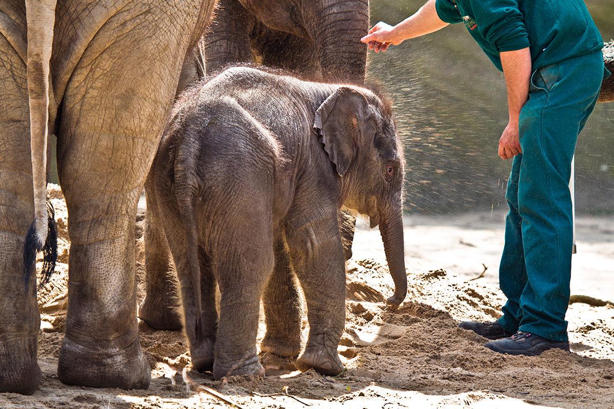 Недавно родившийся слоненок в зоопарке Гамбурга