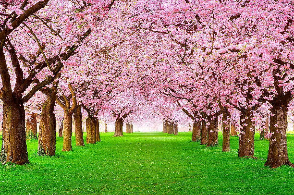 А весна уж идет и сакурой алеет