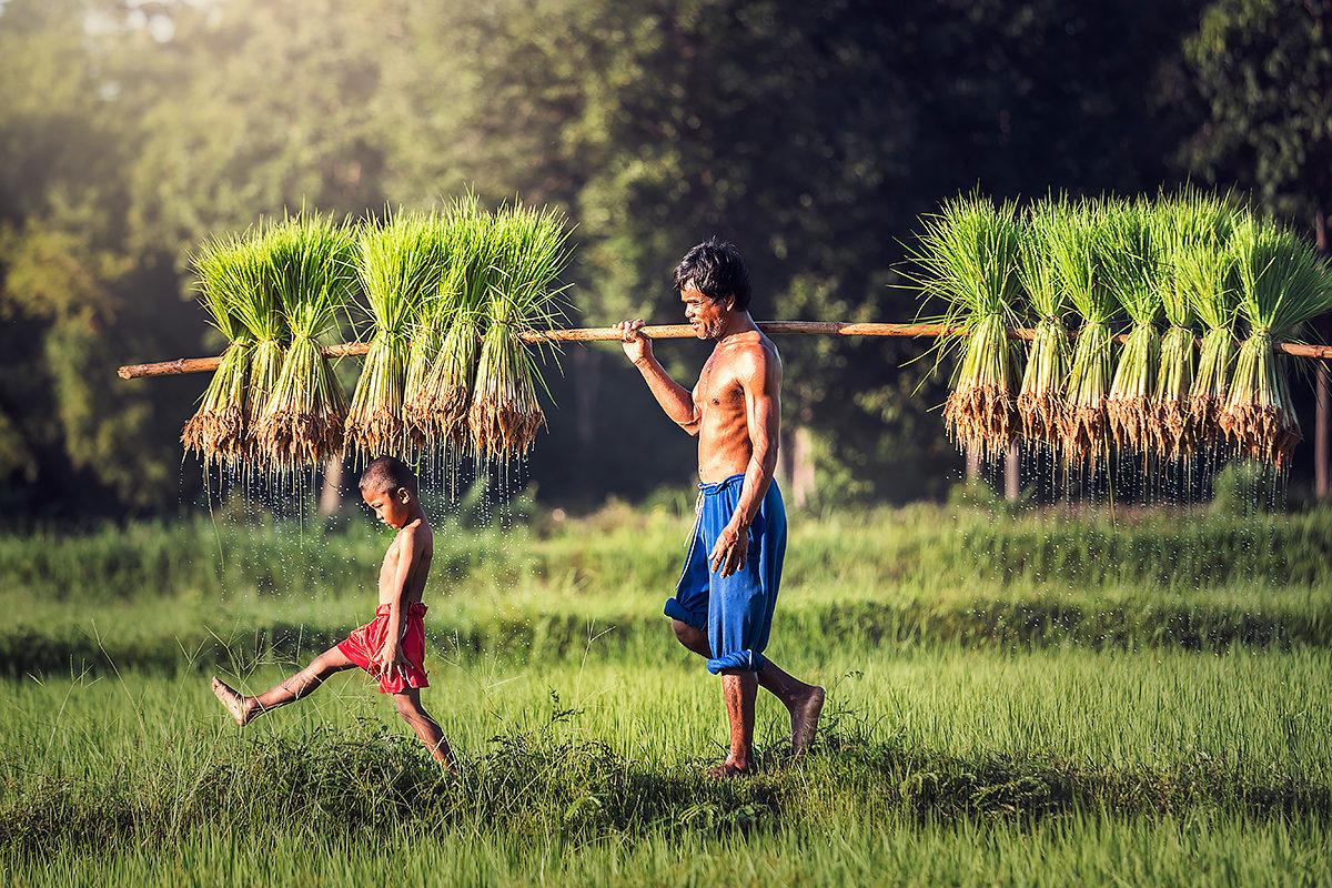 Добытчики. Глава семьи-фермер, выращивающий рис