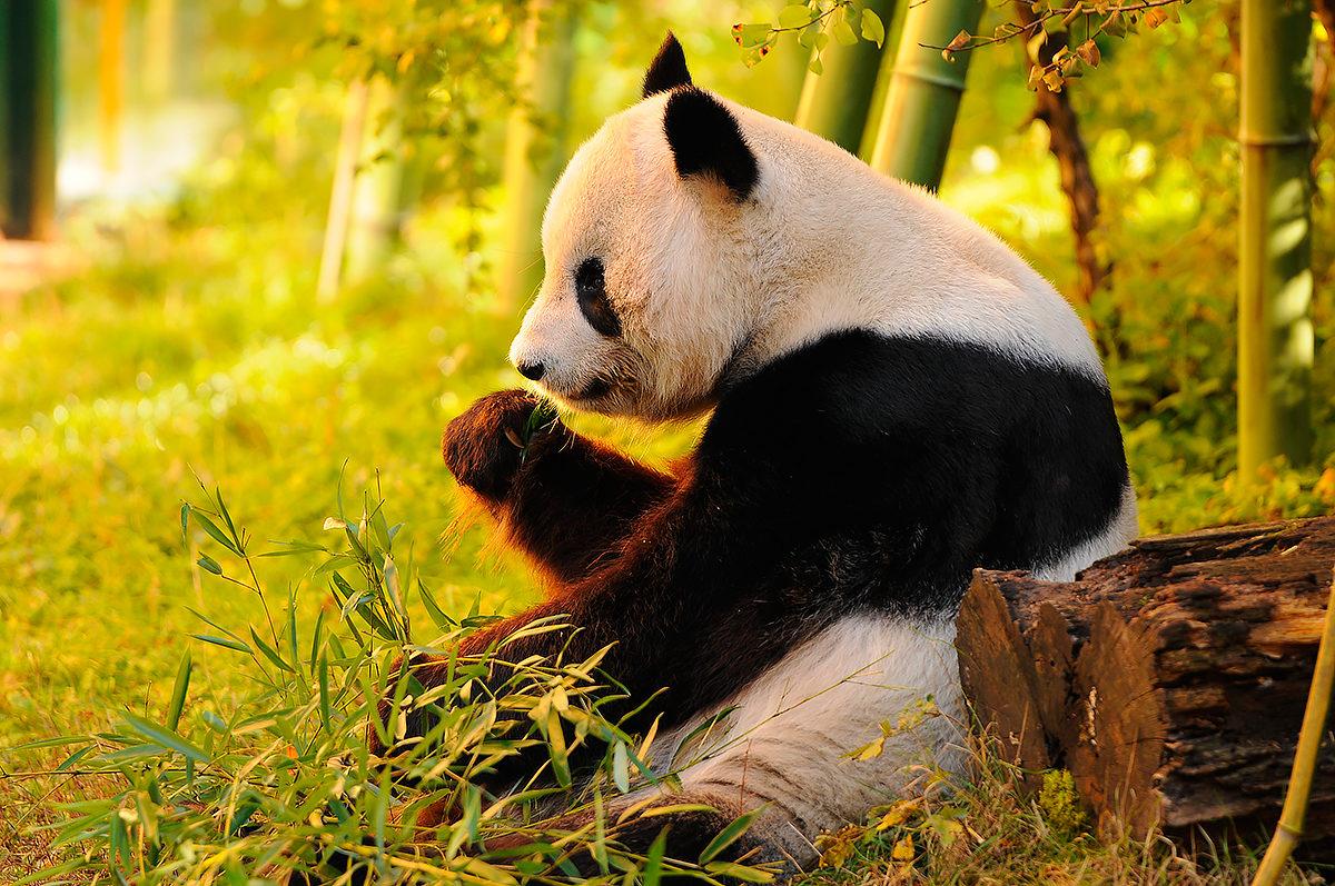 Большая панда, Макао
