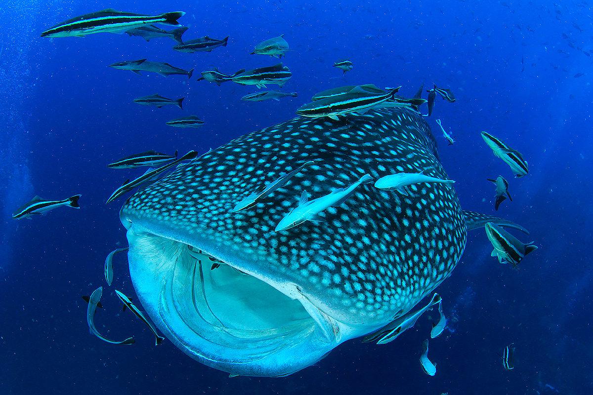 Китовая акула, Остров Женщин
