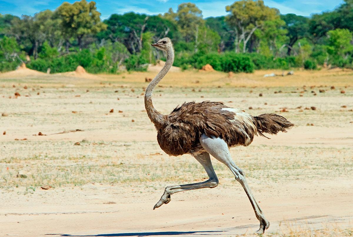 Спешащий по своим делам африканский страус