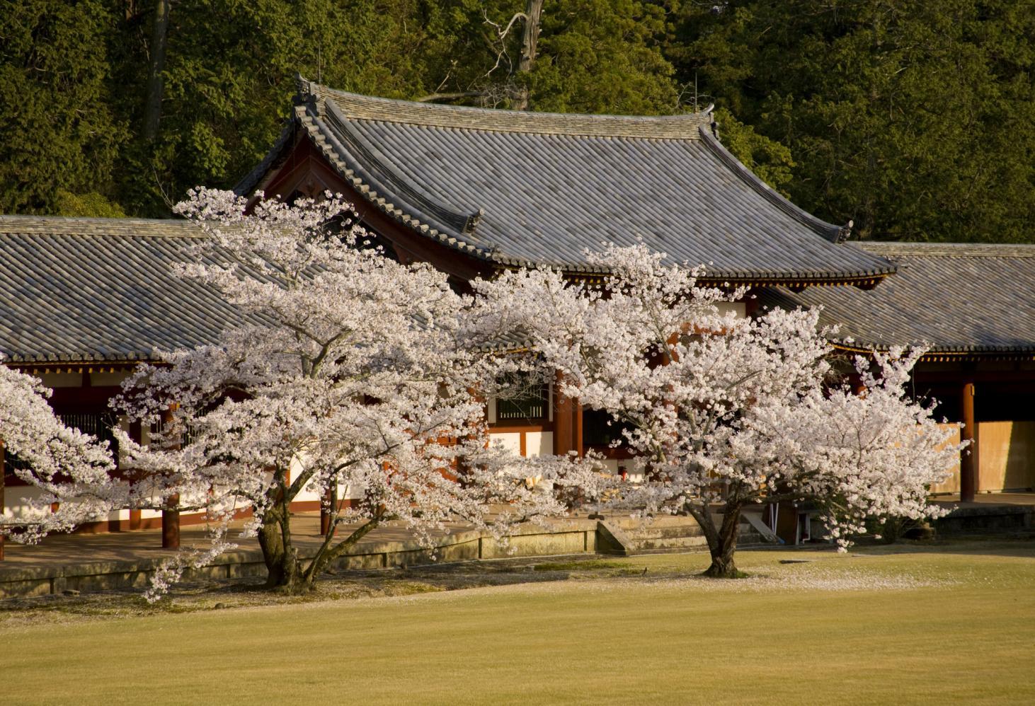 «О-ханами» — цветение сакуры